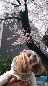 フェイ 桜
